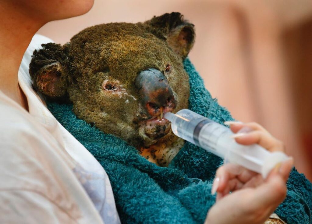 Koalas are slow which puts them at risk and they also eat Eucalyptus whose leaves contain highly flammable oils.