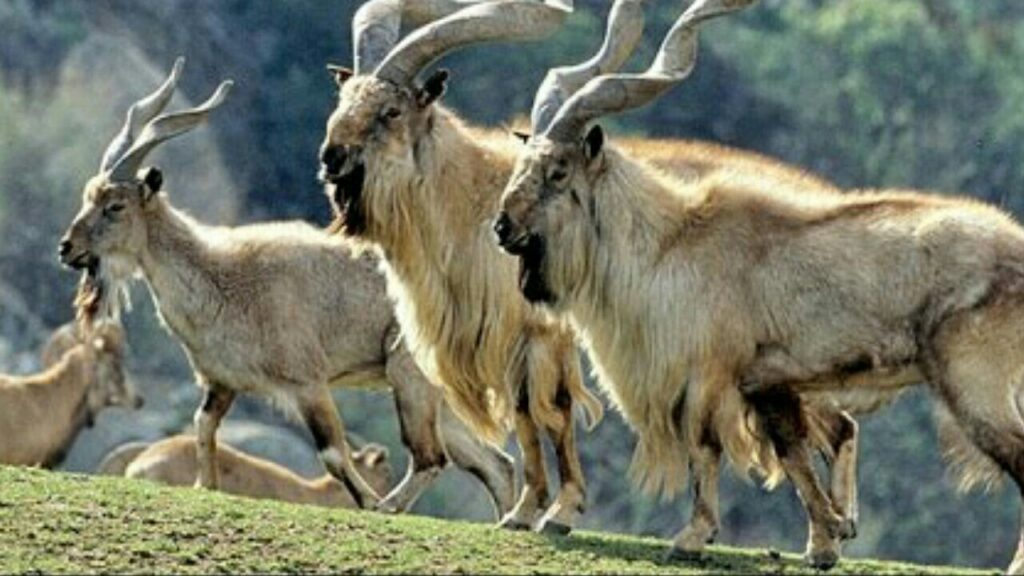 Pakistan is home to five subspecies of Markhor