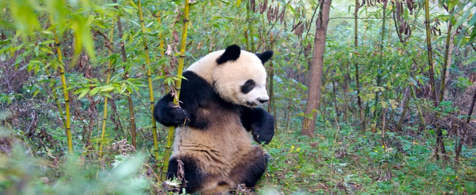 A panda bear walking across a grass covered field  Description automatically generated