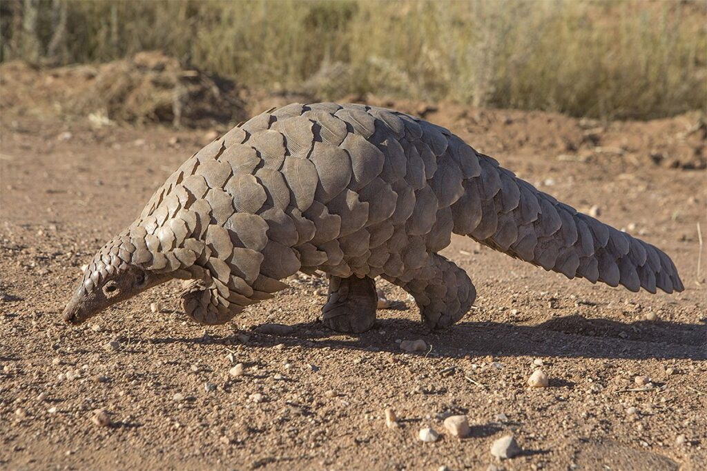 Pangolins are covered in as many as thousands of scales, which protect them from predators, especially big cats.