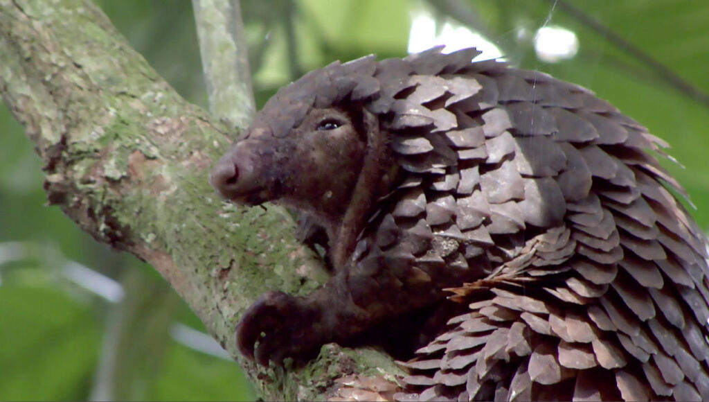 According to some estimates, poachers have hunted more than 1 million pangolins in the past decade.