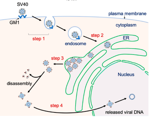 Entry of the virus through its binding to the host cell receptor on the plasma membrane