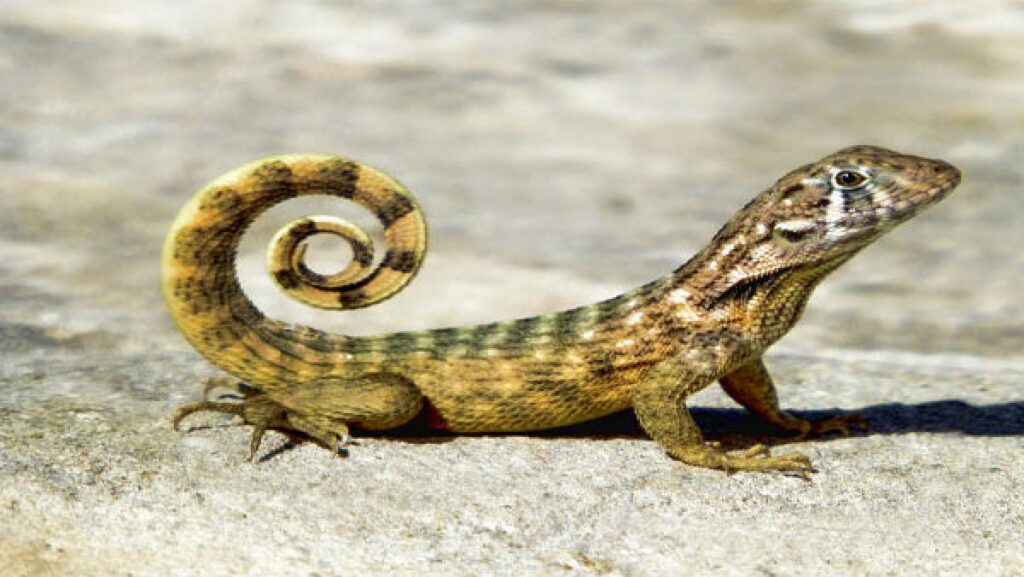 'Tauktae' Lizard- the noisy gecko found in the hilly regions of Myanmar and the North-East Indian state of Nagaland. Source: Google