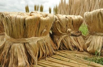 Jute is an important natural fiber crop.