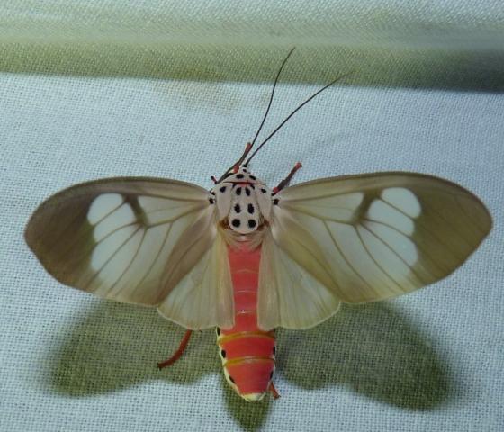 Amerila astreus (Drury, 1773) KMTR