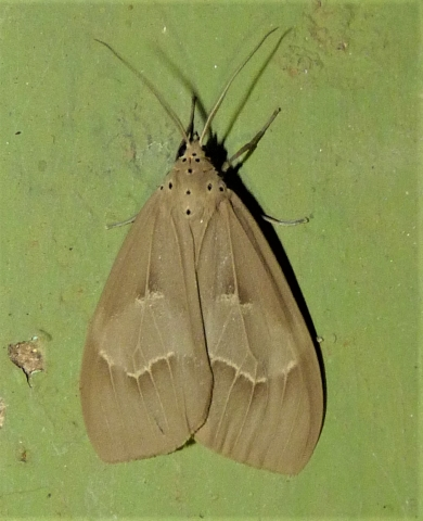 Paraplastis hampsoni (Swinhoe, 1889) -KMTR