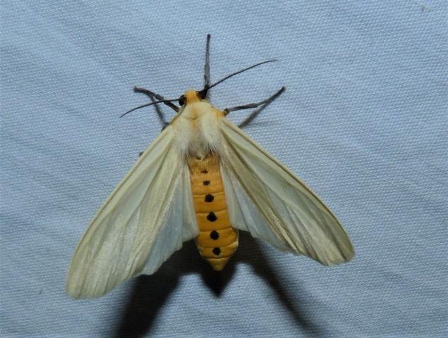 Pareuchaetes pseudoinsulata, Régo Barros, 1956 - Kanyakumari wls