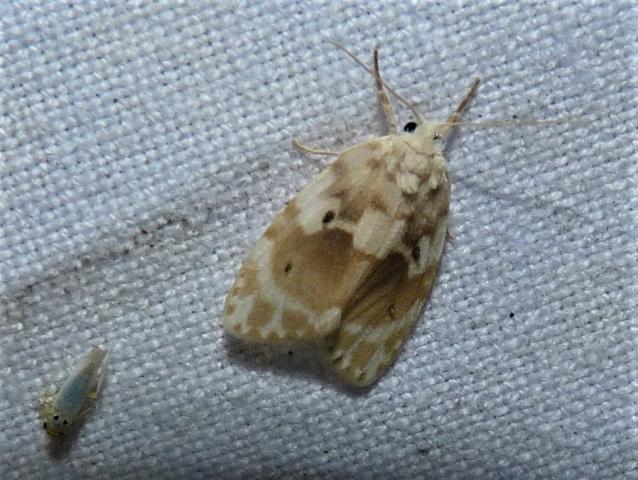 Schistophleps bipuncta, Hampson 1891- Kanyakumari Wls