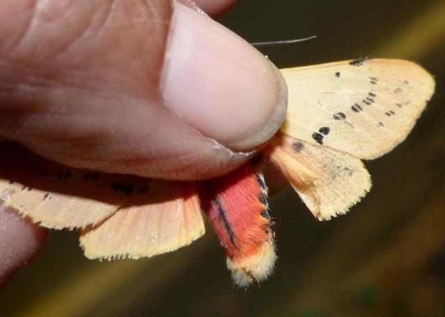 Spilarctia coorgensis Kirti & Gill, 2010 KMTR