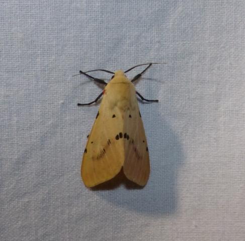 Spilarctia obliqua (Walker, 1855) UN