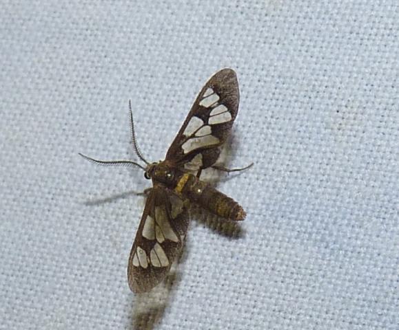 Syntomoides imaon (Cramer, [1779]) P1490820 Maaramalai 2015