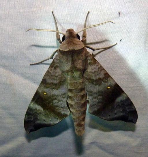 Acosmeryx akanshi Melichar, Rezc, Manjunatha & Horecky, 2014- Kanyakumari Wls