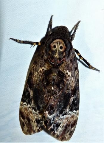 Acherontia lachesis (Fabricius,1798) Gudalur