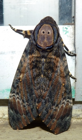 Acherontia styx (Westwood, 1848) - KMTR