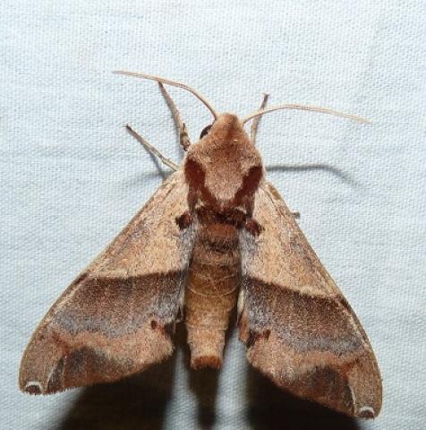 Agnosia microta (Hampson, 1907) KMTR