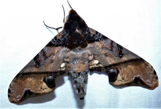 Amplypterus panopus karnatakaensis Melichar & Rezc, 2013 KMTR