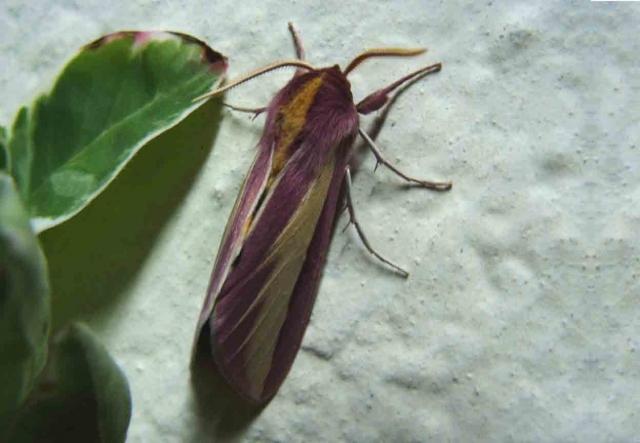 Leucophlebia emittens Walker, 1866 Khed dist.