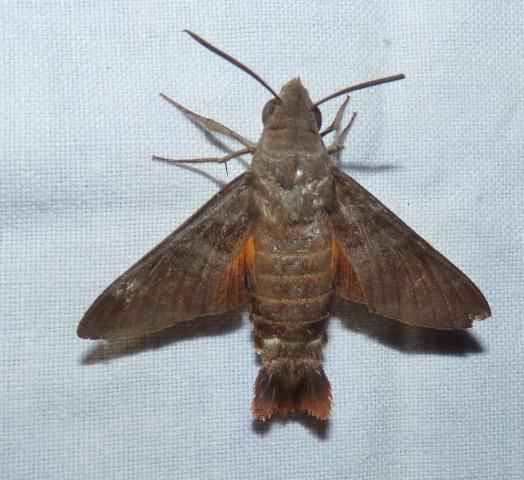 Macroglossum belis (Linnaeus, 1758) Kanyakumari Wls