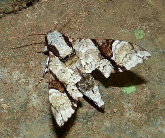 Megacorma obliqua obliqua (Walker,1856) Upper Kodyar