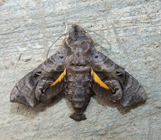 Neogurelca hyas (Walker 1856) -Suchindram