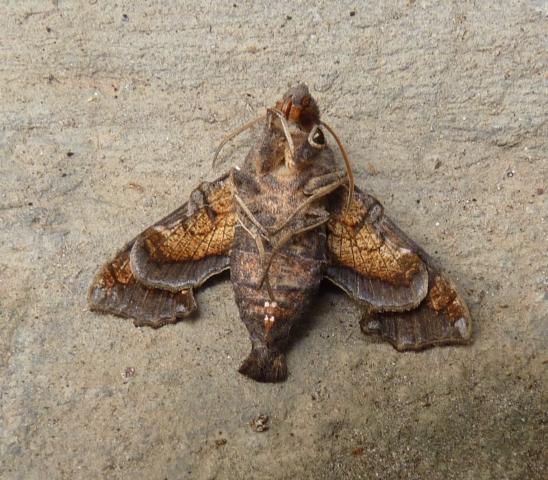 Neogurelca hyas (Walker 1856) UN -Suchindram