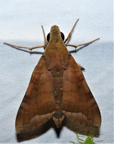 Nephele hespera (Fabricius, 1775) KMTR
