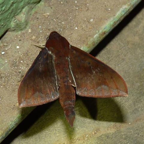 Rhagastis castanea (Moore, 1872) Upper kodayar