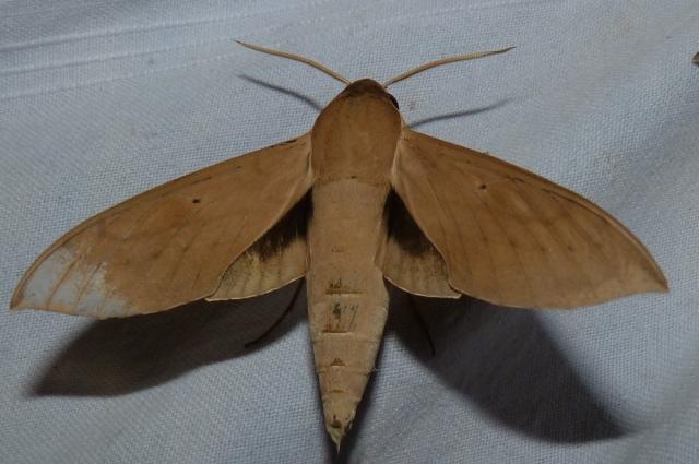 Theretra gnoma (Fabricius, 1775) KMTR