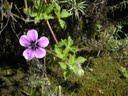 Geranium procurrens or trailing geranium