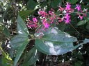 Oxyspora paniculata orArthrostemma paniculatum- Bristletips