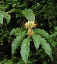 Hedychium spicatum orspiked ginger lilly