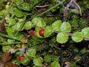 Hemiphragma heterophyllum