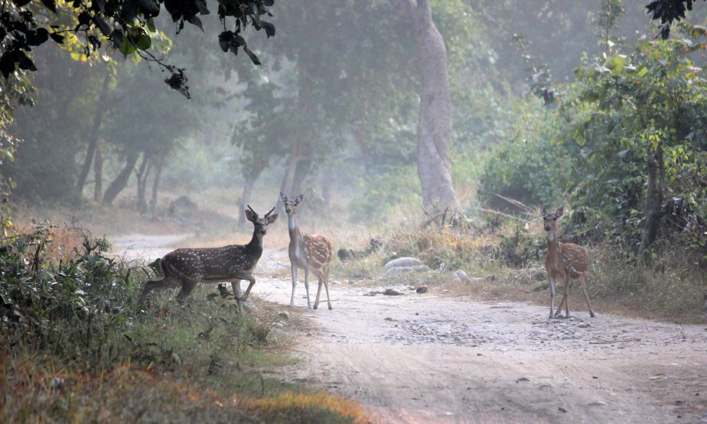 1920px-Spotted_deers_in_Jim_Corbett_National_Park