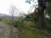 Micarone - Il Tarallo road tree damage