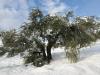 Damaged old olive tree
