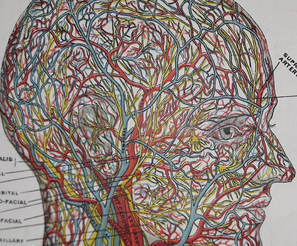 Blood vessels in head