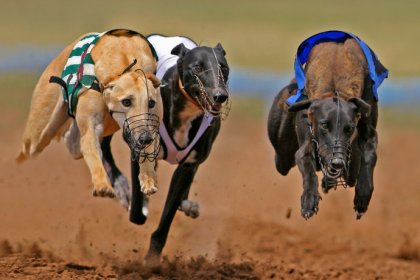 Greyhounds racing at a dog track