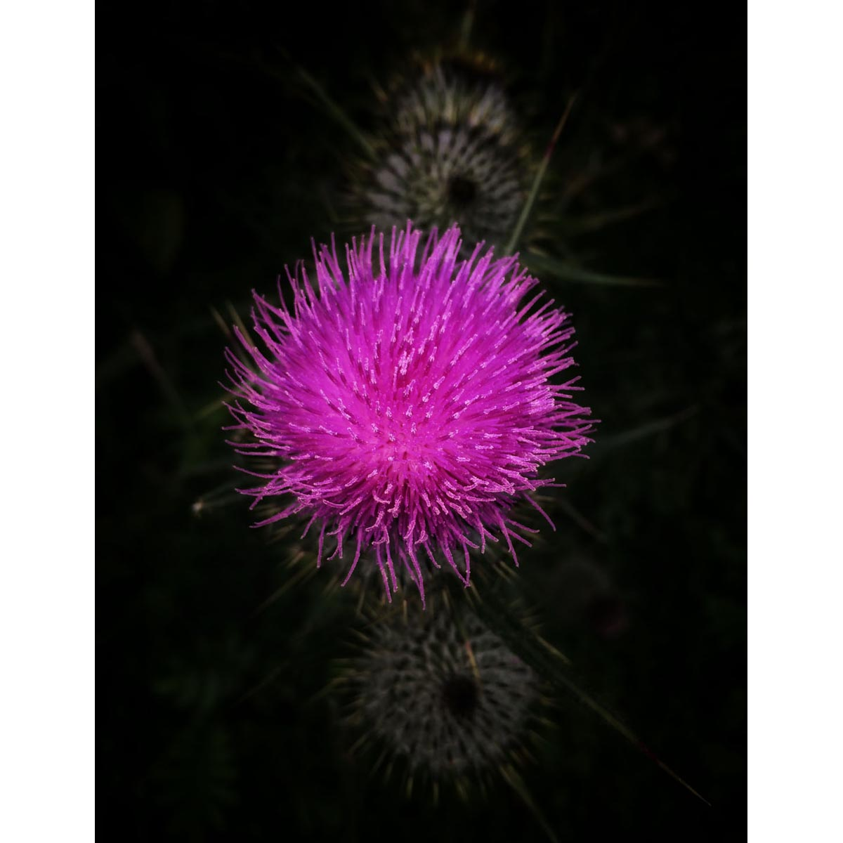 Contemporary fine art photograph of Irish thistle by Stephen S T Bradley - photo 0966