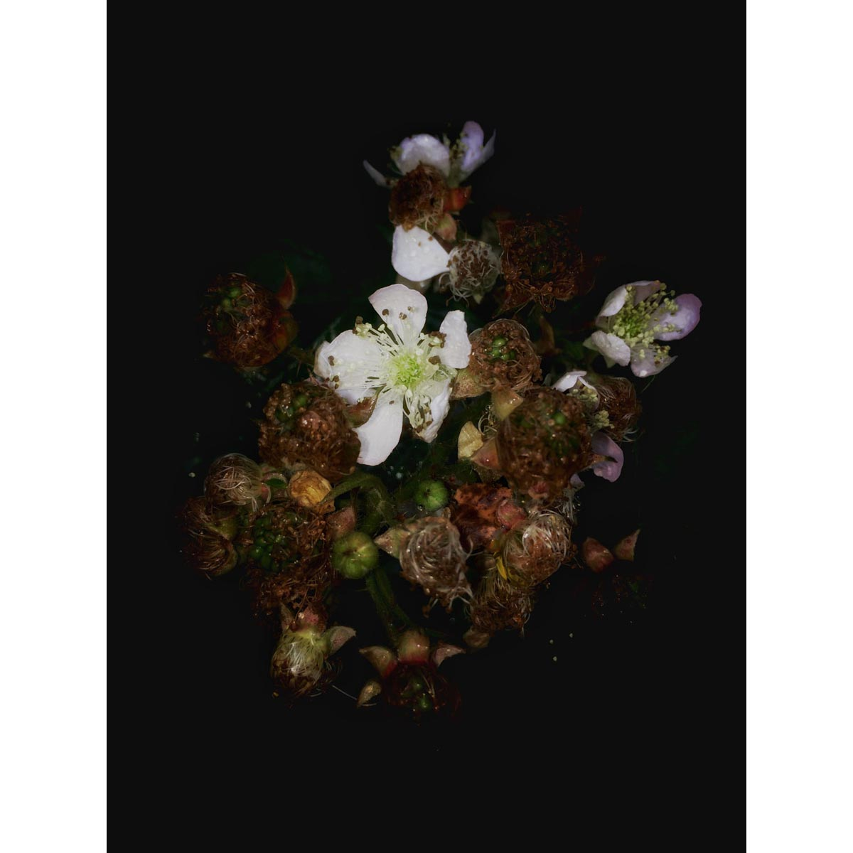 Contemporary fine art photograph of a blackberry blossom by Stephen S T Bradley - photo 1167