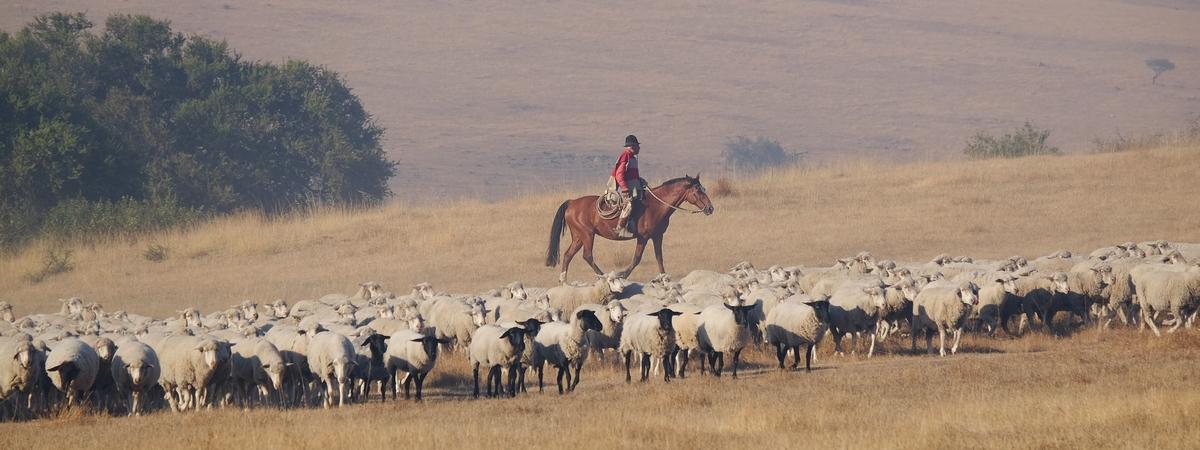 Schafe und Reiter 2