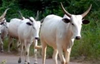 230 cows seized in Benue for violating grazing law