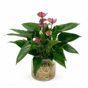 Anthurium Plant delivery Dubai