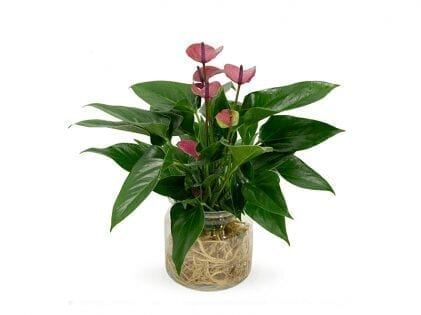 Anthurium Plant delivery Dubai