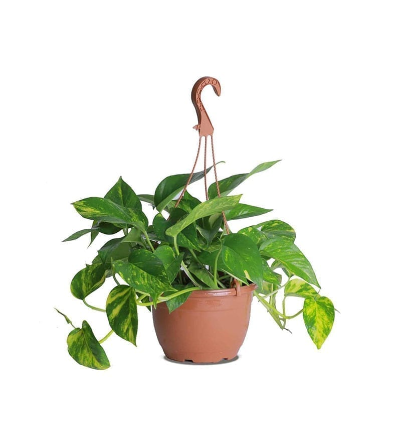 Indoor Hanging Money Plants