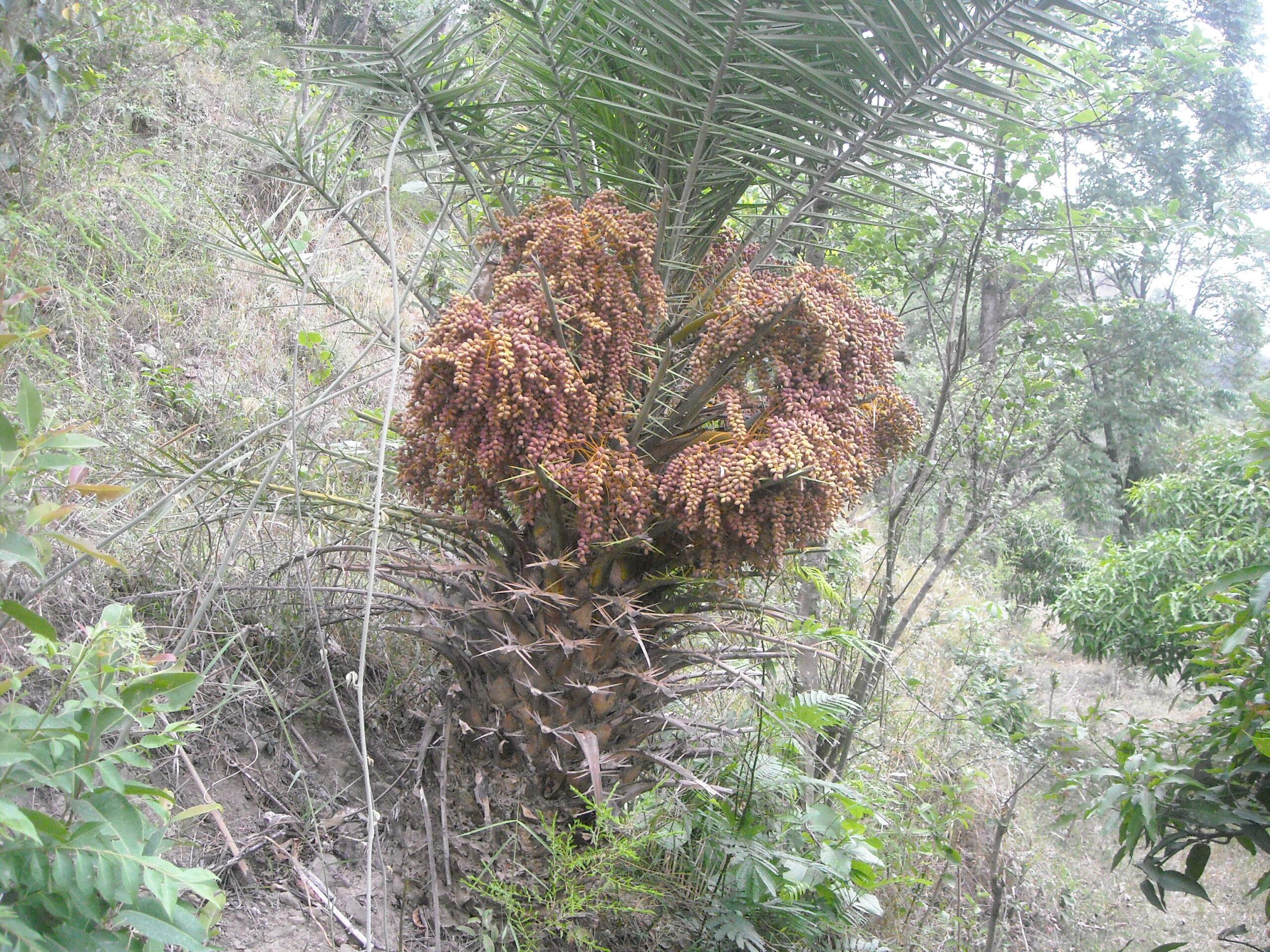 Phoenix sylvestris (L.) Roxb.- Khajara (खजरा), Khajoor