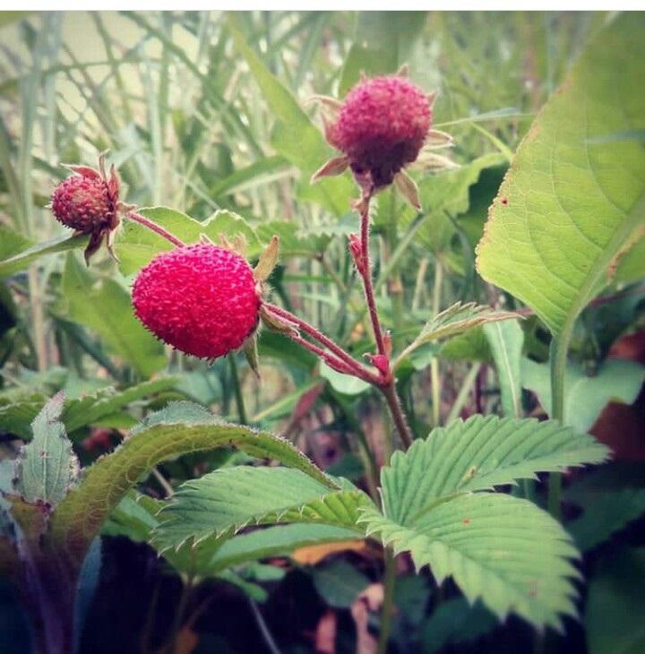 Fragaria vesca L- Jangli Strawberry (जंगली स्ट्रॉबेरी), Bhoomphal (भूमफल)