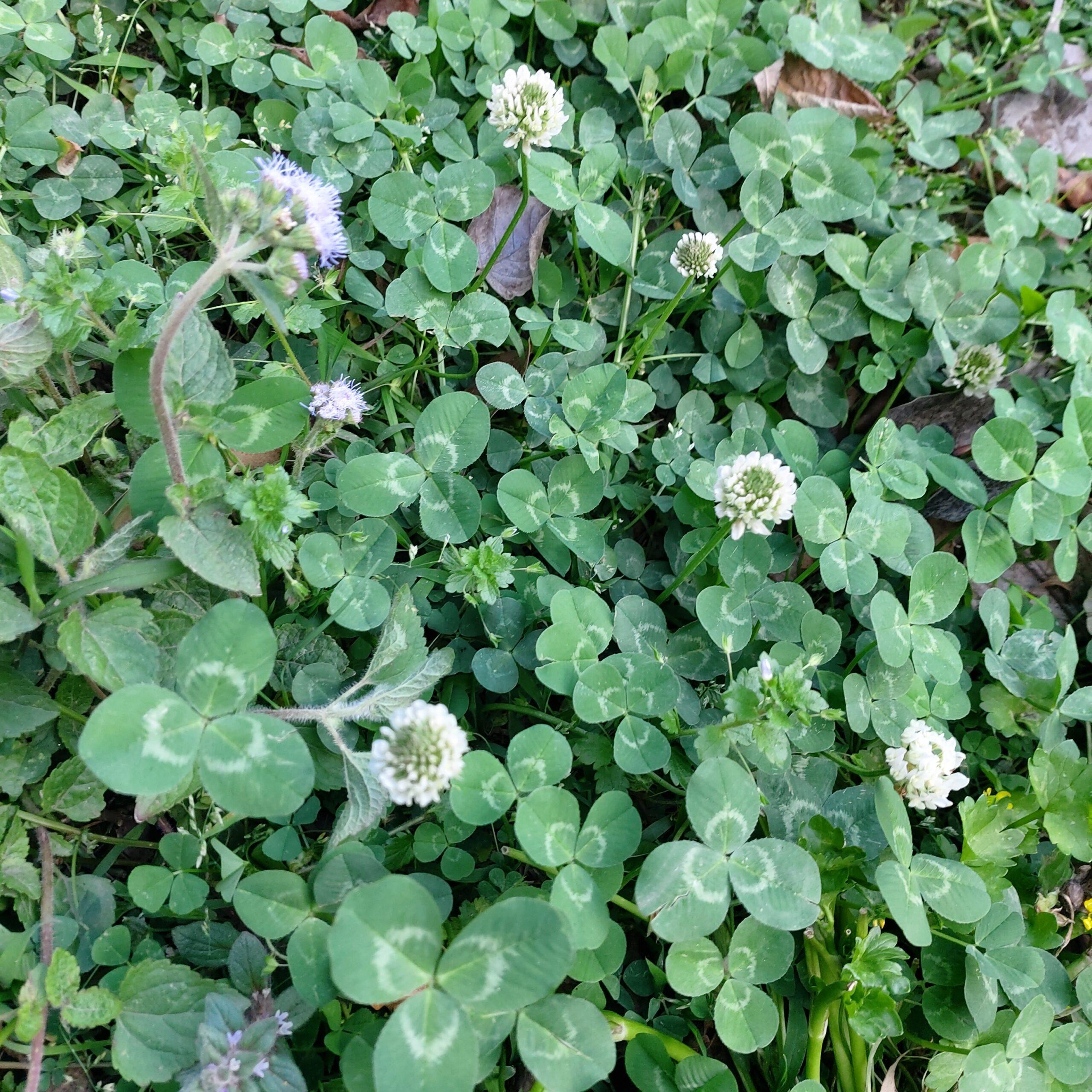 Trifolium repens L. – Jangali parseen (जंगली परसीन)
