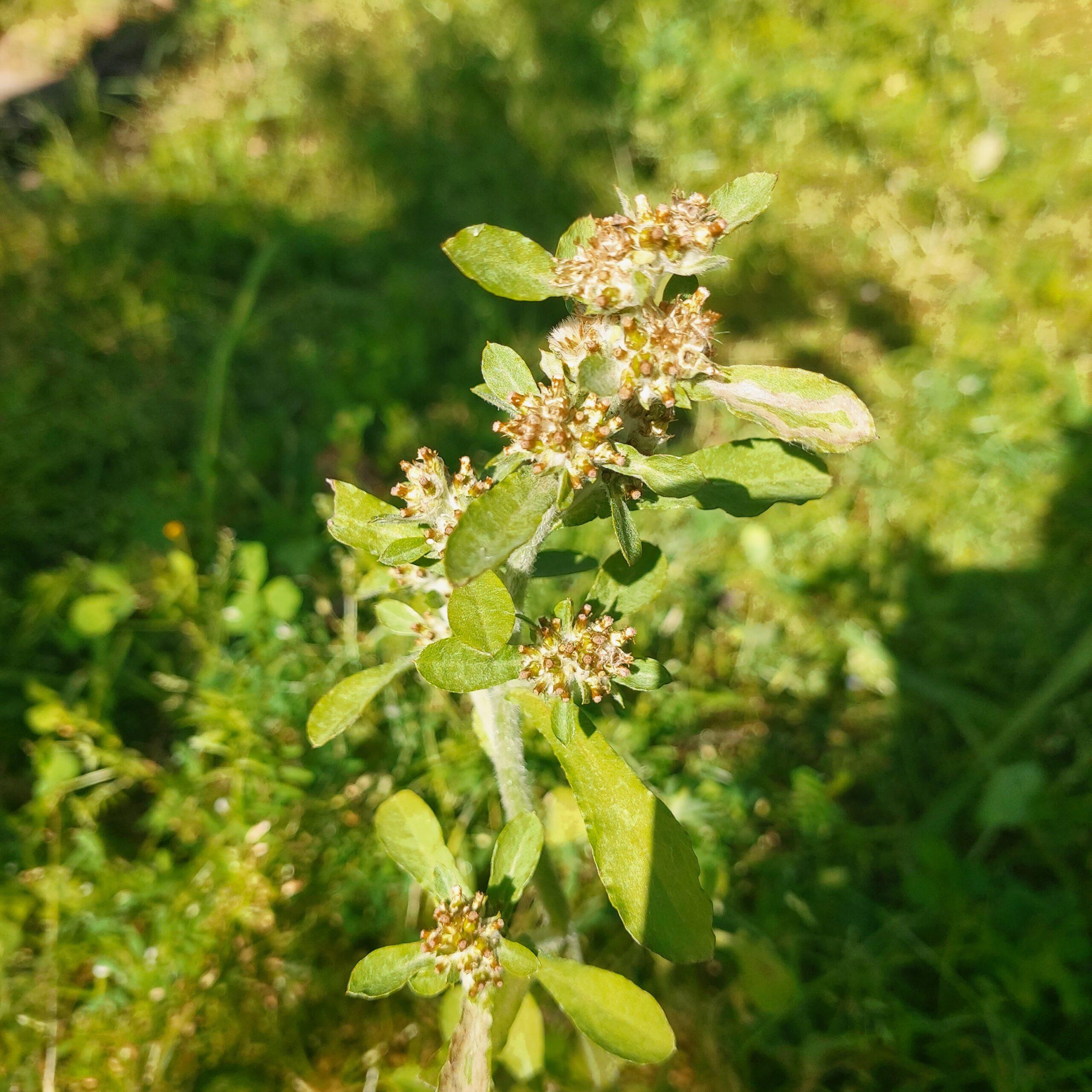 Gamochaeta pensylvanica (Willd.) Cabrera – Dhoodu (धूडू)