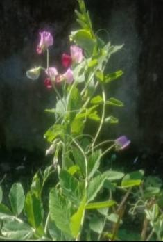 Lathyrus sativus L. – Khesari (खेसरी). Sudu
