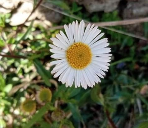 Erigeron annuus (L.)Pers- Phuntha (फुंठा)
